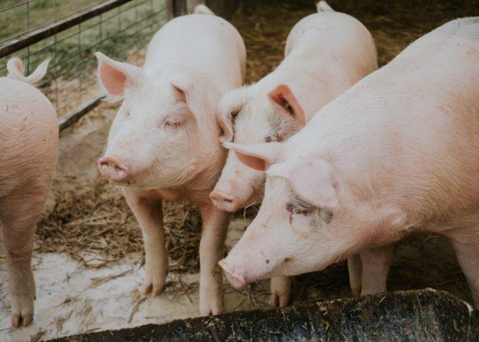 Des porcs dans un élévage